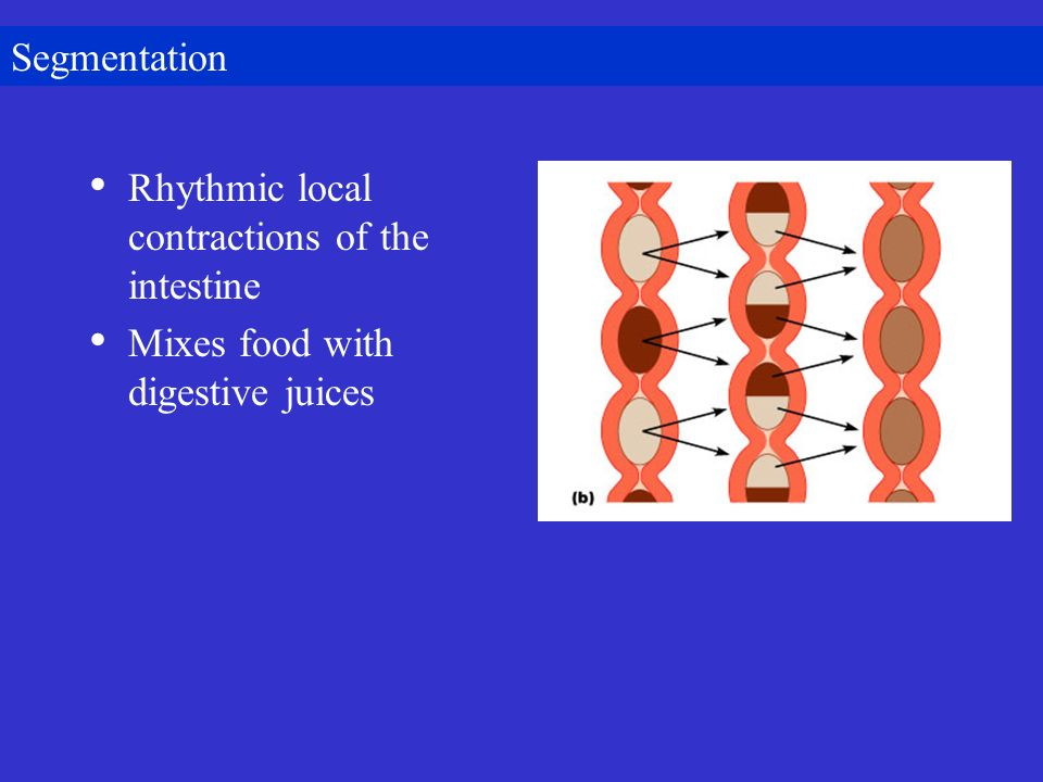 Segmentation Rhythmic local contractions of the intestine Mixes food with digestive juices