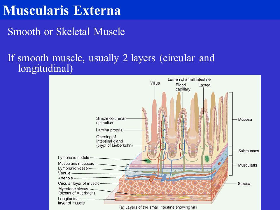Muscularis Externa Smooth or Skeletal Muscle