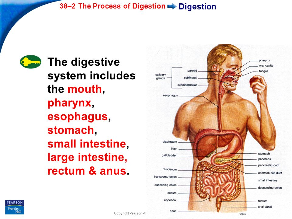 the digestion process The enzyme lingual lipase an enzyme responsible for the breakdown of triacylglycerols and phospholipids, along with a small amount of phospholipid as an emulsifier, initiates the process of digestion these actions cause the fats to become more accessible to the digestive enzymes.