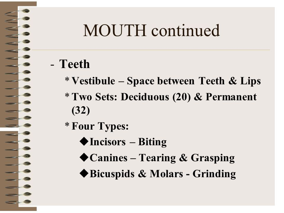 MOUTH continued Teeth Vestibule – Space between Teeth & Lips