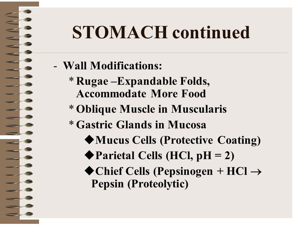 STOMACH continued Wall Modifications: