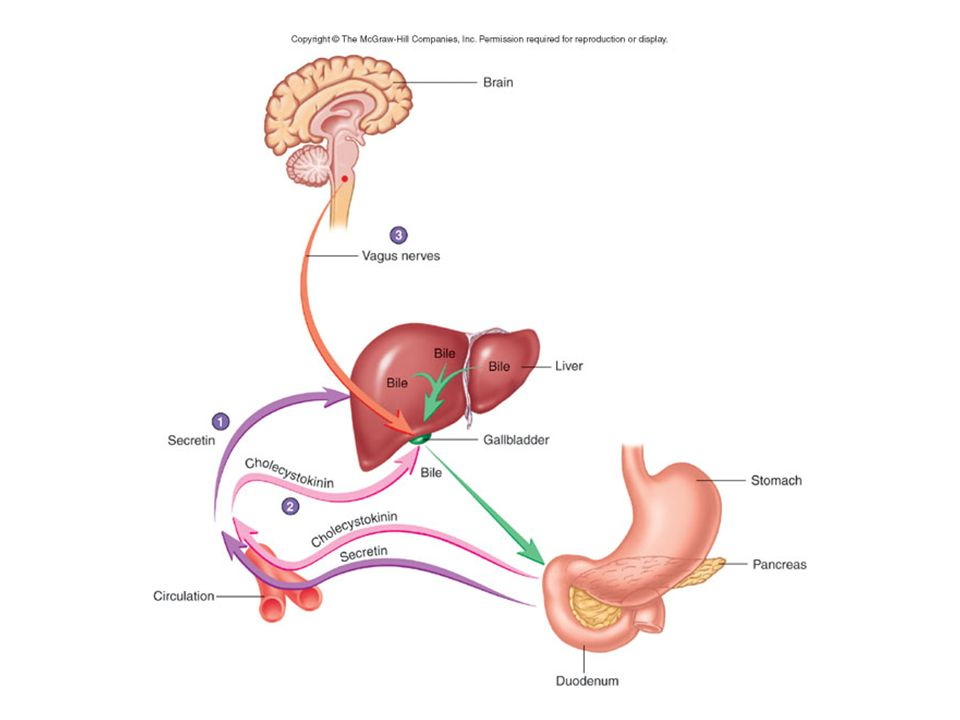 Parasympathetic stimulation via Vagus Nerve also stimulated gallbladder to contract