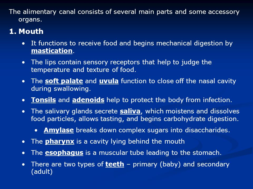 The alimentary canal consists of several main parts and some accessory organs.