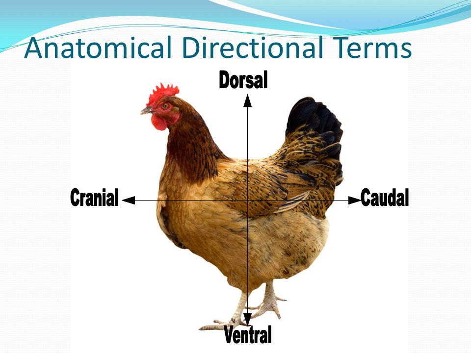 Anatomy and Physiology of Poultry - ppt video online download