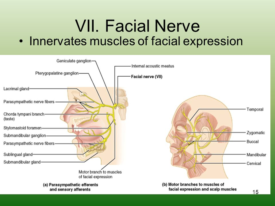 Cranial Nerves And Spinal Cord Ppt Download