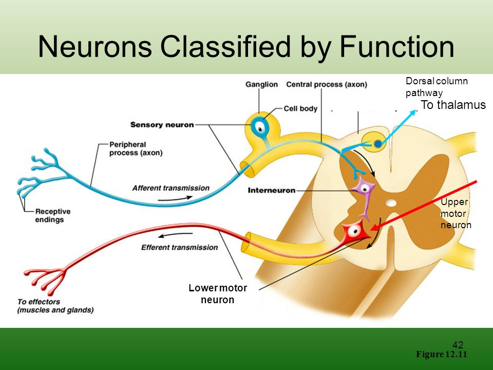 neurons pathway organization connections - 960×720