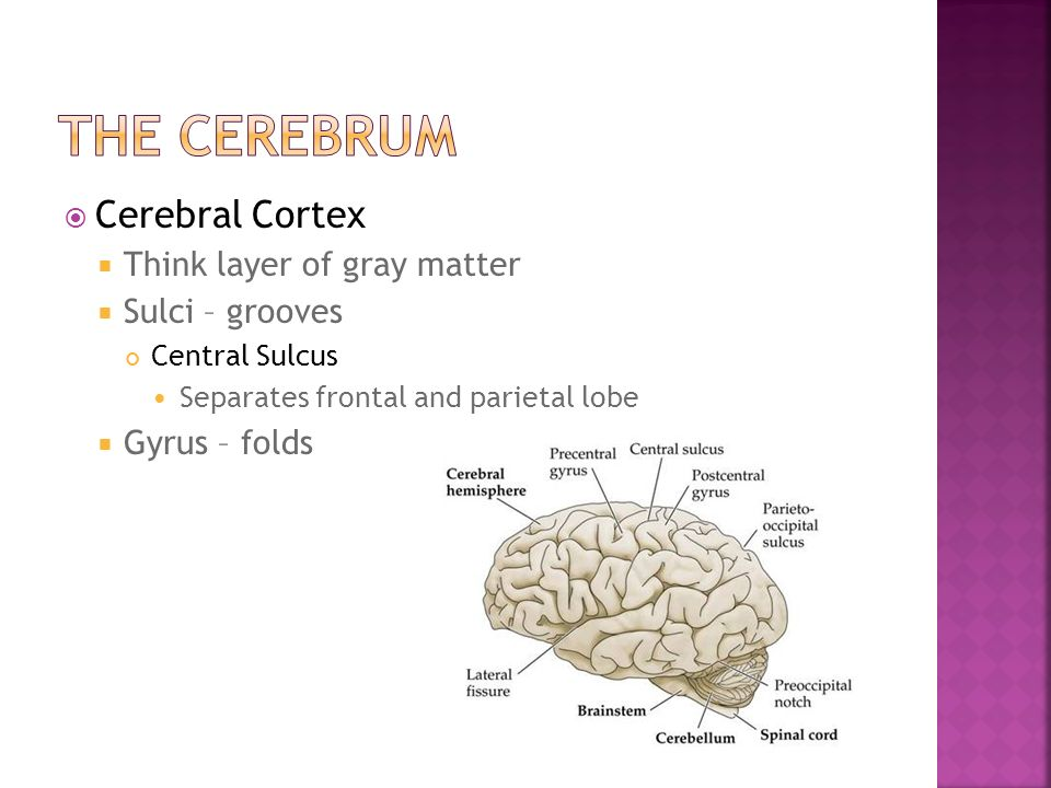 The Cerebrum Cerebral Cortex Think layer of gray matter