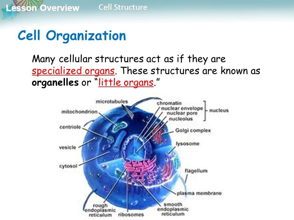 Objectives 7 2 Cell Structure Ppt Video Online Download