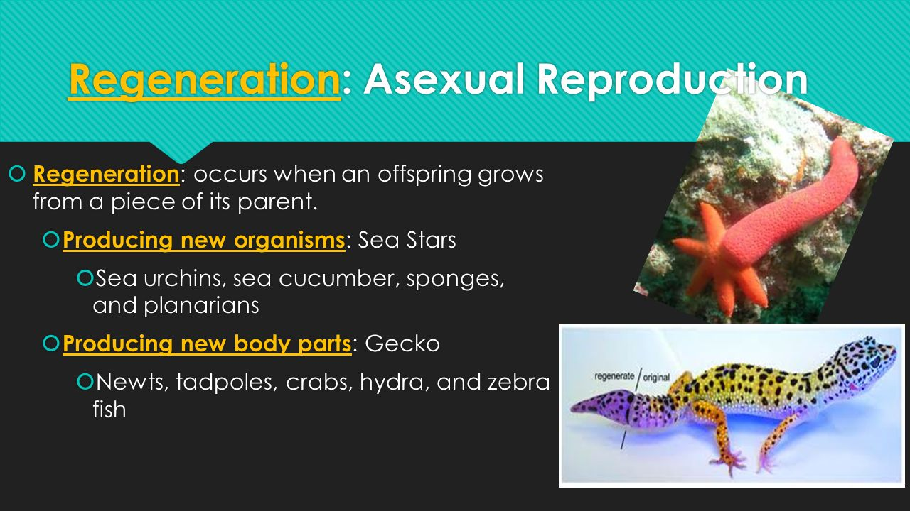 Sea cucumber asexual reproduction worksheets