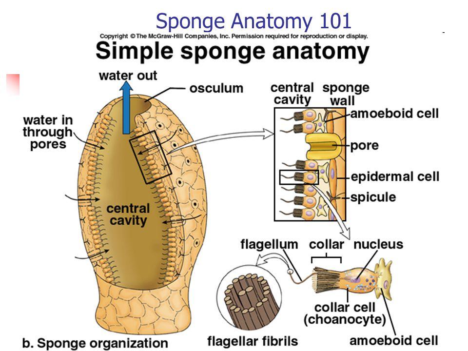 The Sponges – Phylum Porifera - ppt video online download