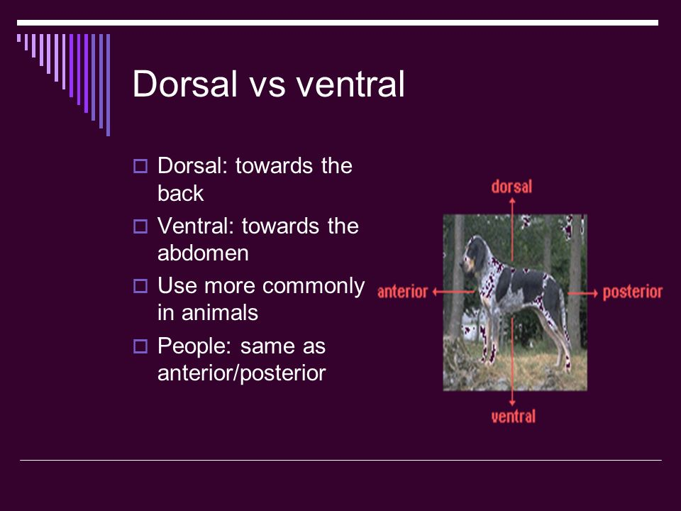 Dorsal vs ventral Dorsal: towards the back