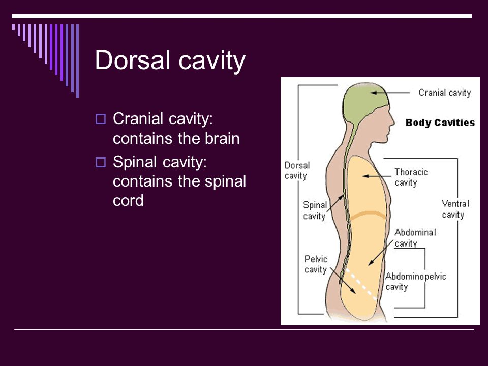 Dorsal cavity Cranial cavity: contains the brain