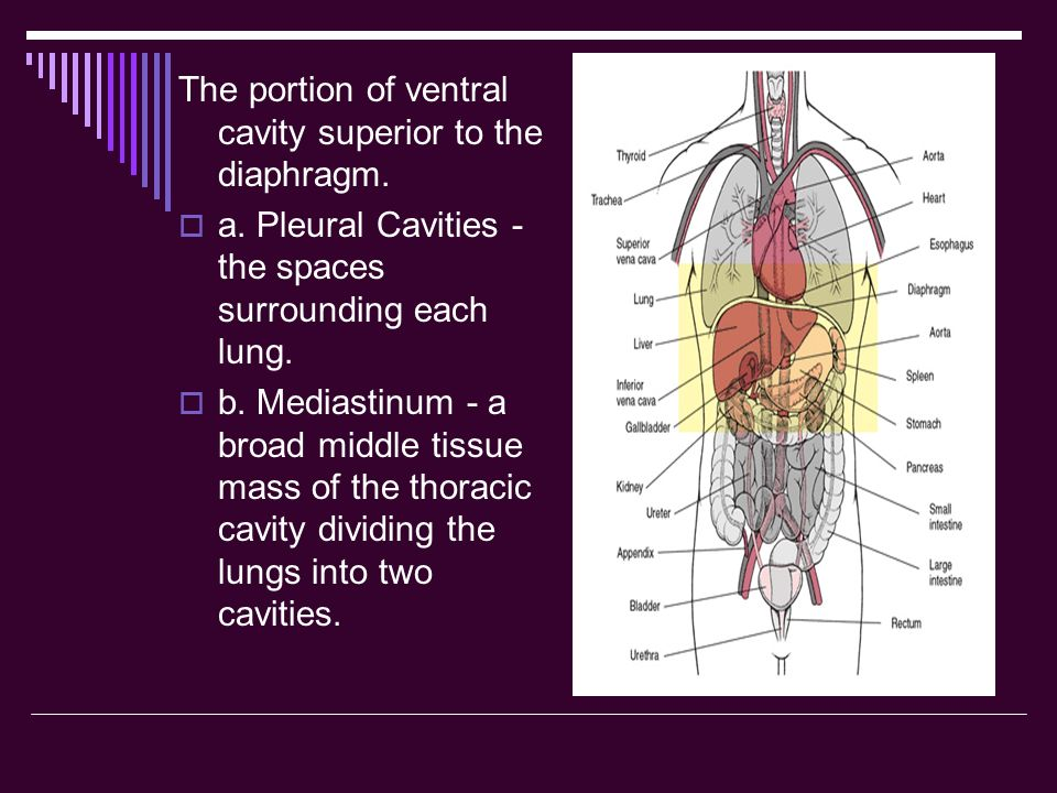 The portion of ventral cavity superior to the diaphragm.