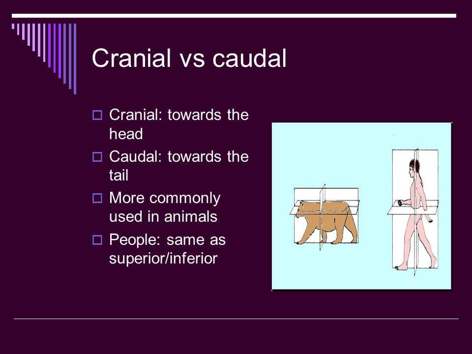 Cranial vs caudal Cranial: towards the head Caudal: towards the tail