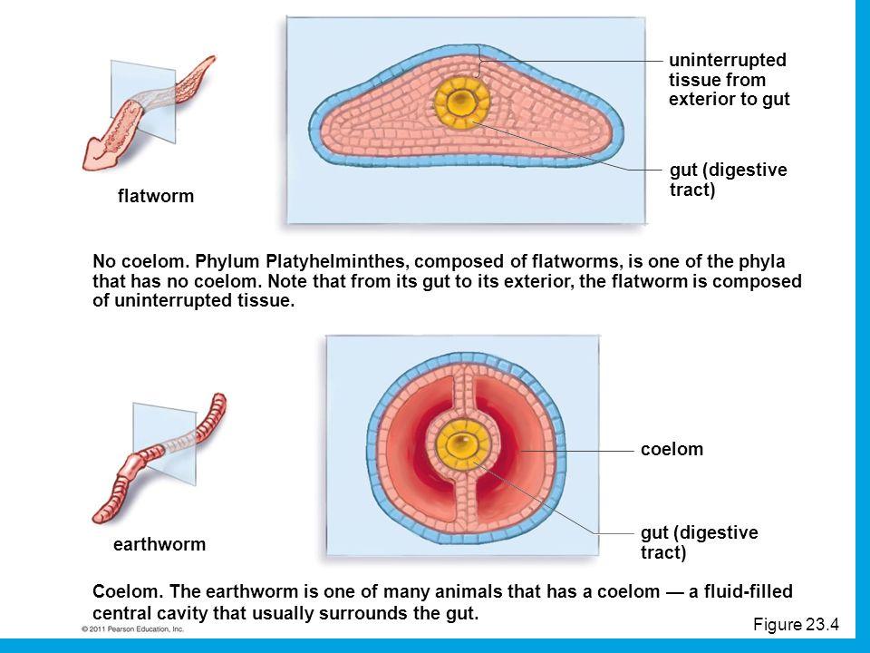 Contoh filum aschelminthes