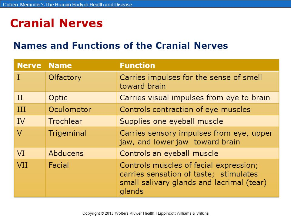 Chapter 10 The Nervous System The Brain And Cranial Nerves Ppt