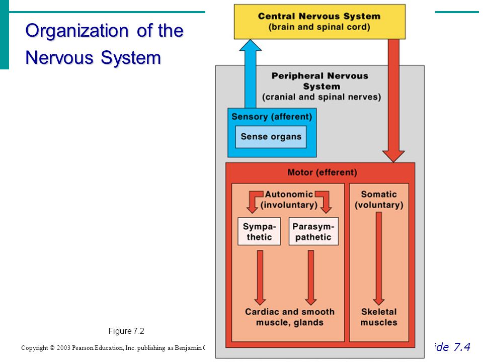 Chapter 7 The Nervous System Ppt Video Online Download
