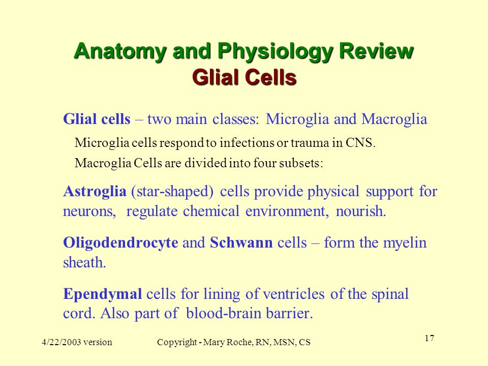 Anatomy and Physiology Review Glial Cells
