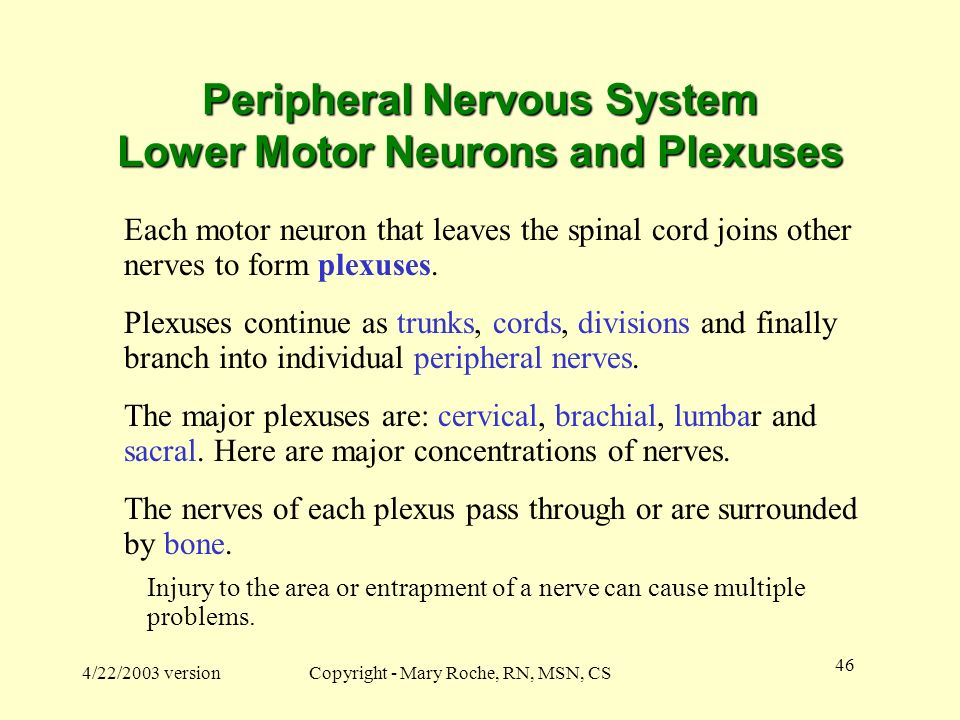 Peripheral Nervous System Lower Motor Neurons and Plexuses