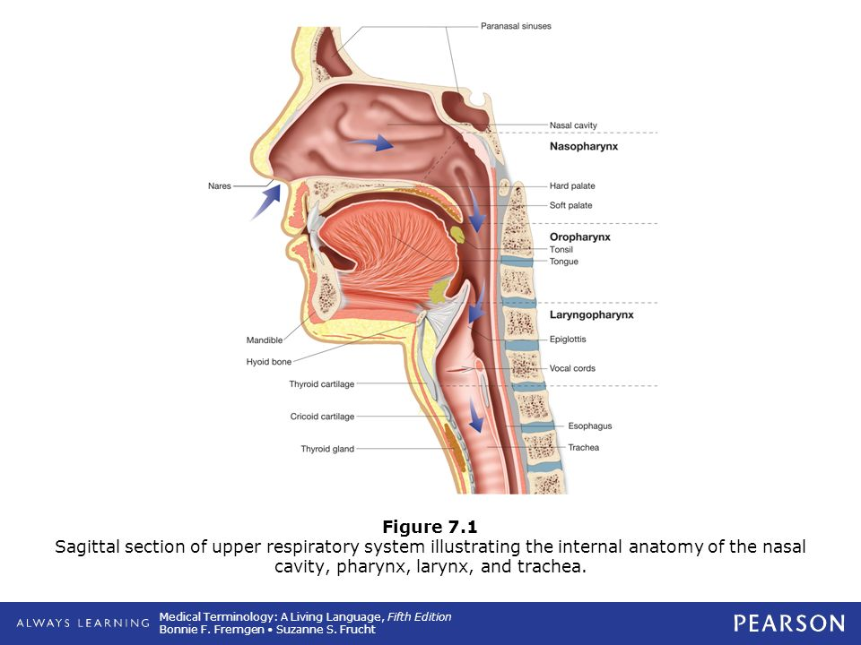 Upper Airway Anatomy Brady Diagram - Online Schematic Diagram •