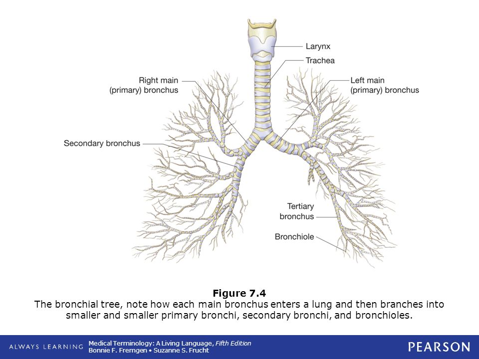 7 Respiratory System Ppt Download