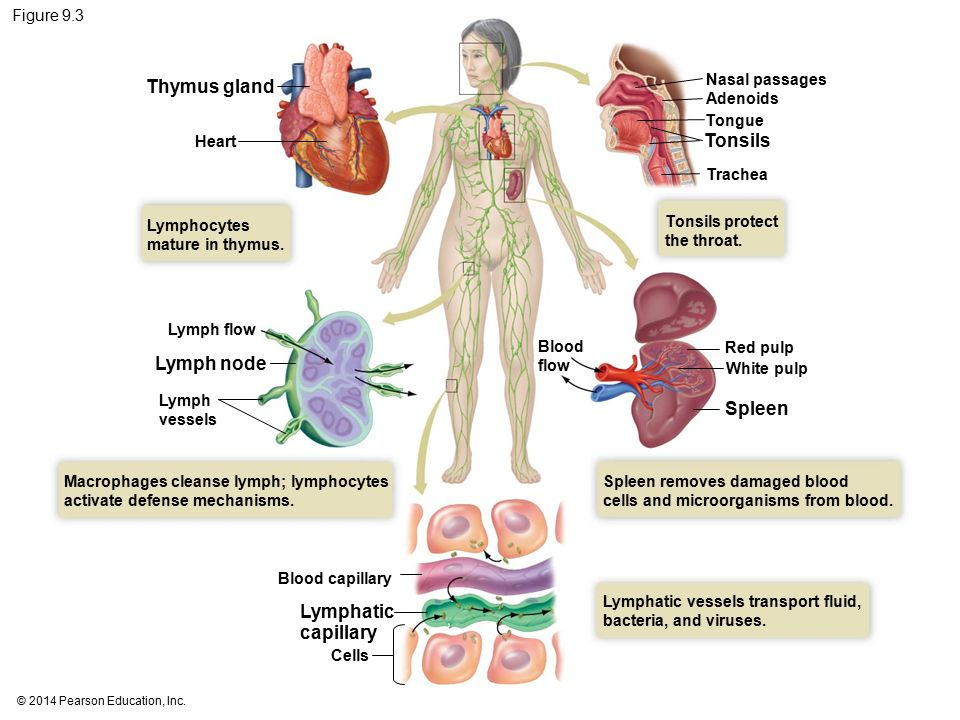 Spleen And Thymus Gland Diagram Online Schematic Diagram