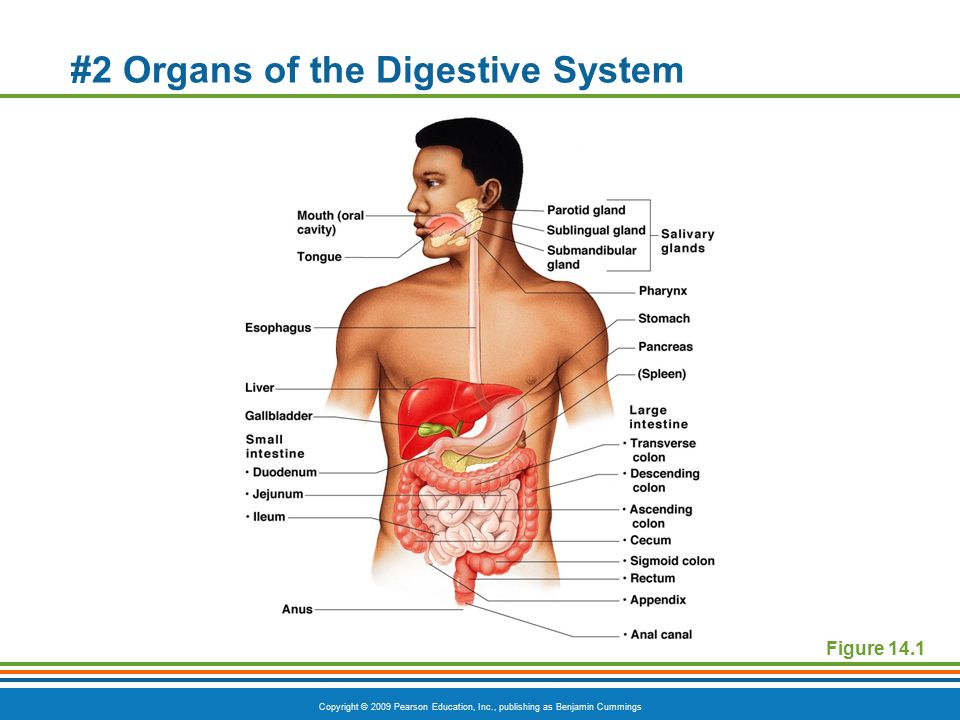1 Anatomy Of The Digestive System Ppt Download