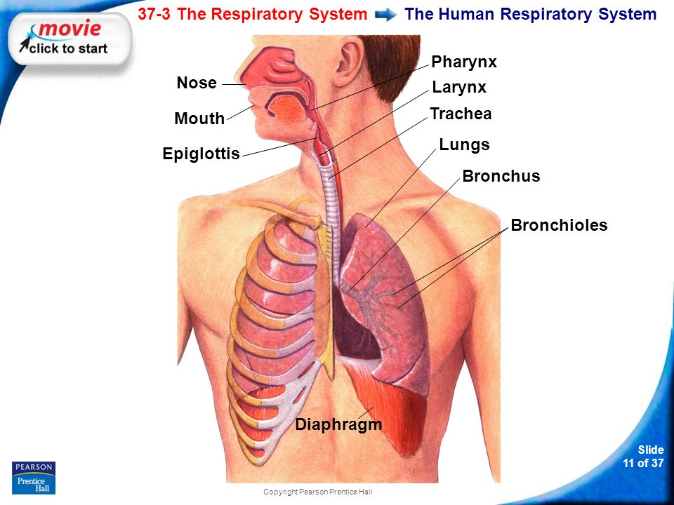 37 3 The Respiratory System Ppt Download