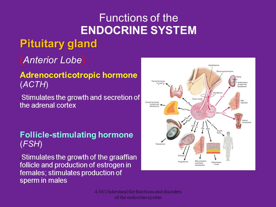 Functions of the ENDOCRINE SYSTEM
