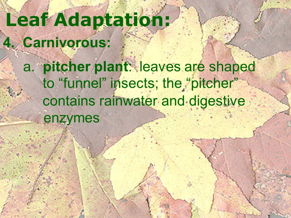 Leaf Adaptation: 4. Carnivorous: a. pitcher plant: leaves are shaped
