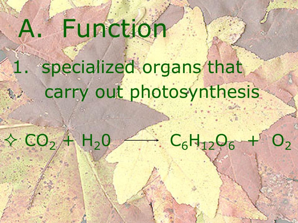A. Function 1. specialized organs that carry out photosynthesis