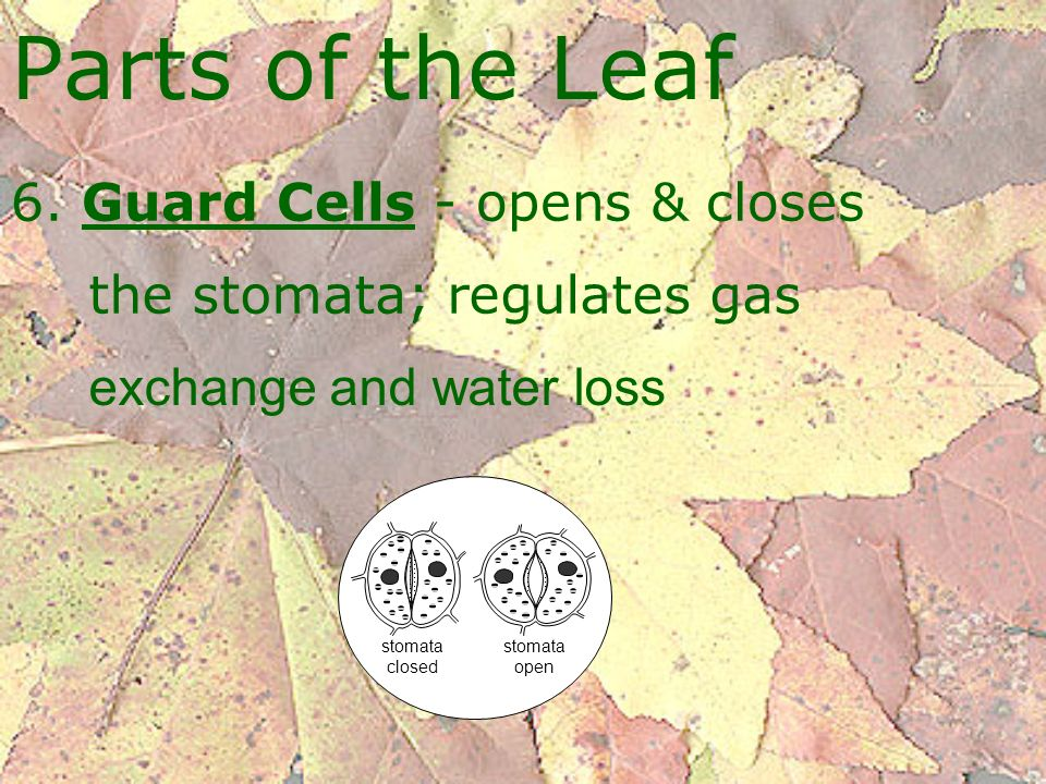 Parts of the Leaf 6. Guard Cells - opens & closes