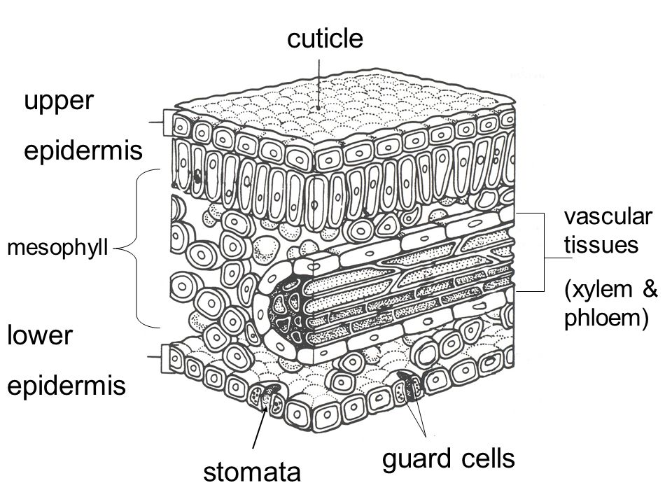 cuticle upper epidermis lower epidermis guard cells stomata