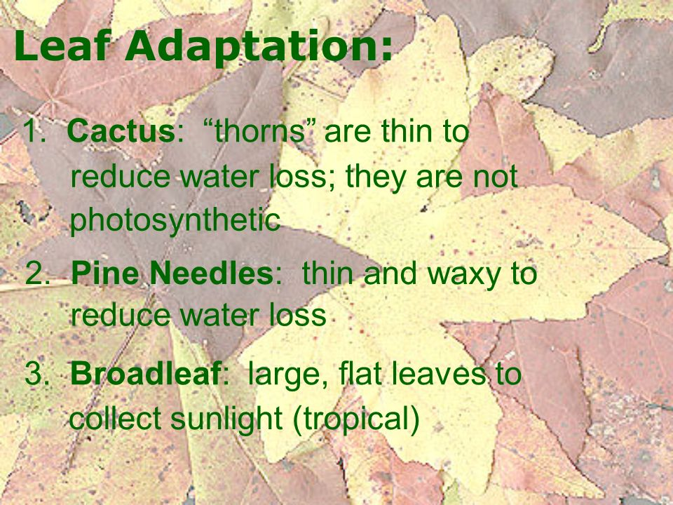 Leaf Adaptation: 1. Cactus: thorns are thin to