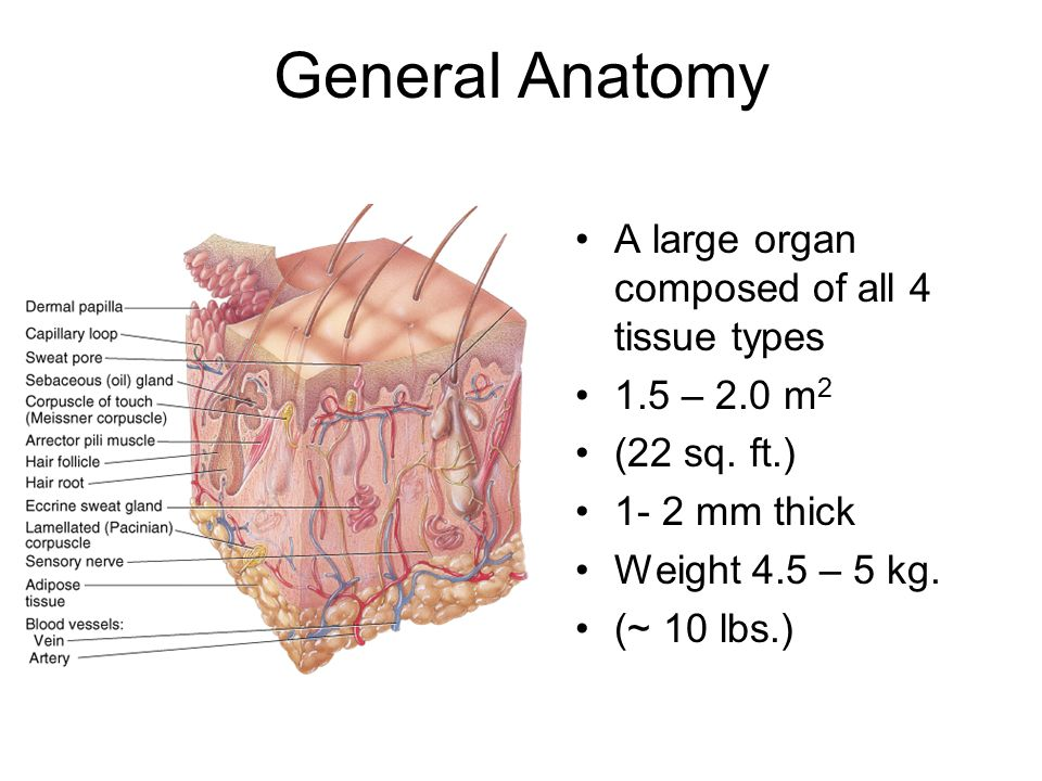 BIOLOGY 251 Human Anatomy & Physiology - ppt download