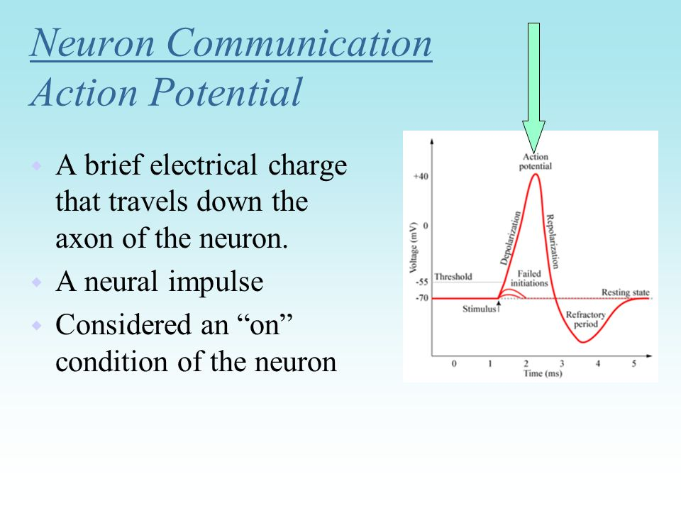 Neuron Communication Action Potential