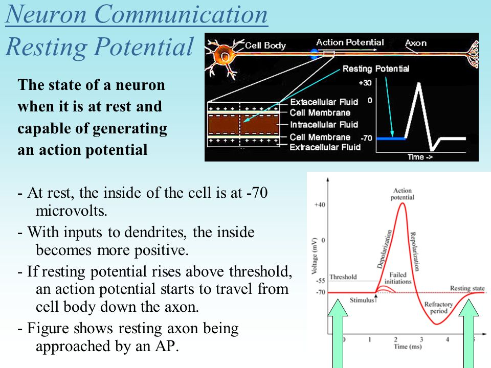 Neuron Communication Resting Potential