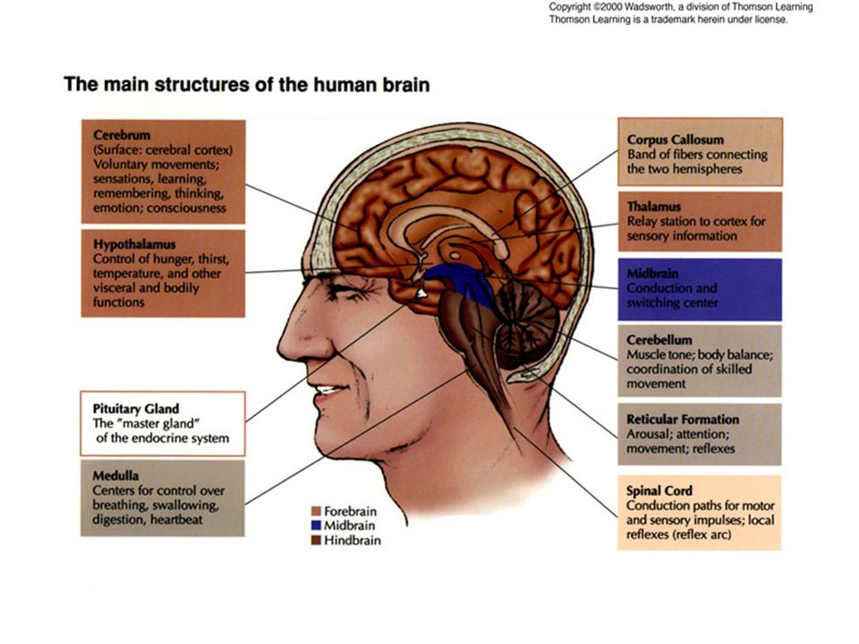 Structures of Brain Diagram