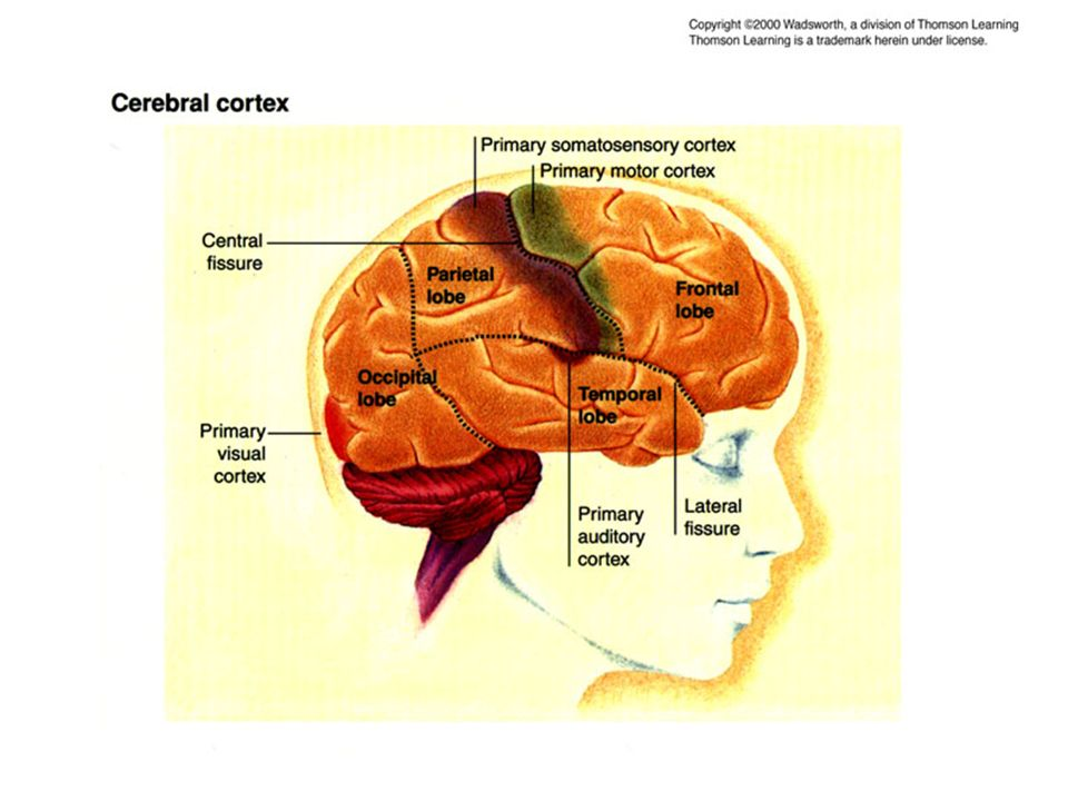 Cerebral Cortex pic
