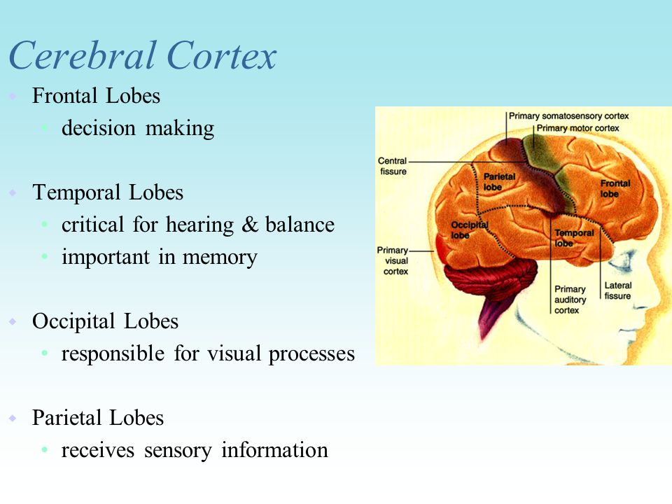 Cerebral Cortex Frontal Lobes decision making Temporal Lobes
