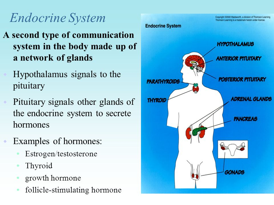 Endocrine System A second type of communication system in the body made up of a network of glands. Hypothalamus signals to the pituitary.