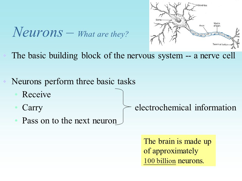Neurons – What are they The basic building block of the nervous system -- a nerve cell. Neurons perform three basic tasks.