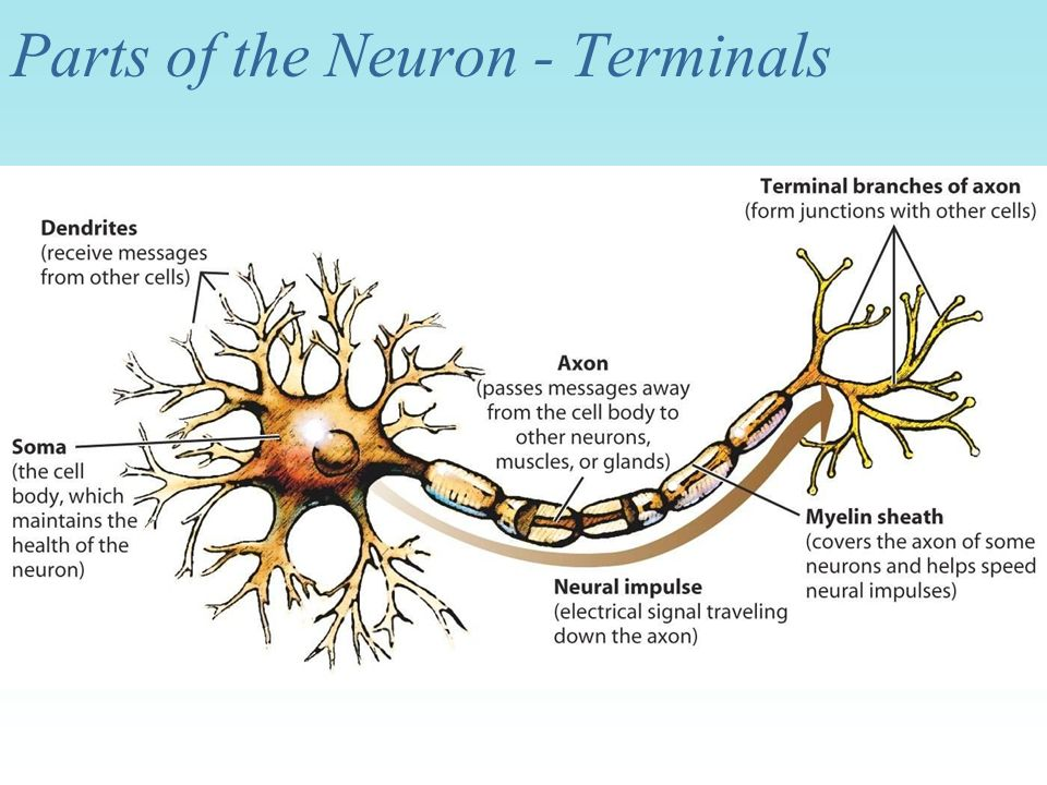 Parts of the Neuron - Terminals