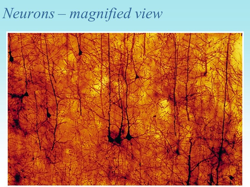 Neurons – magnified view