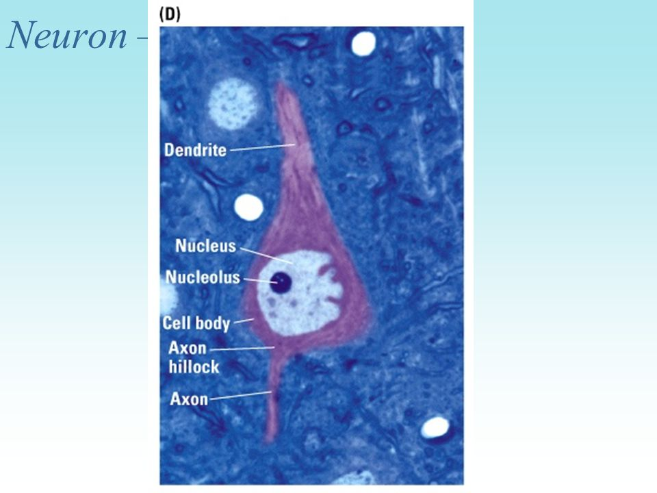 Neuron – another view
