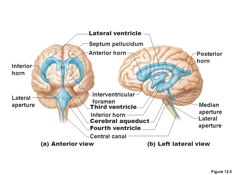 The Central Nervous System - ppt video online download