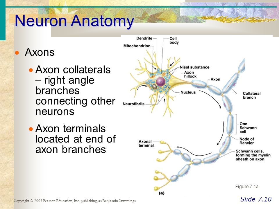 The Nervous System Essentials of Human Anatomy & Physiology - ppt ...