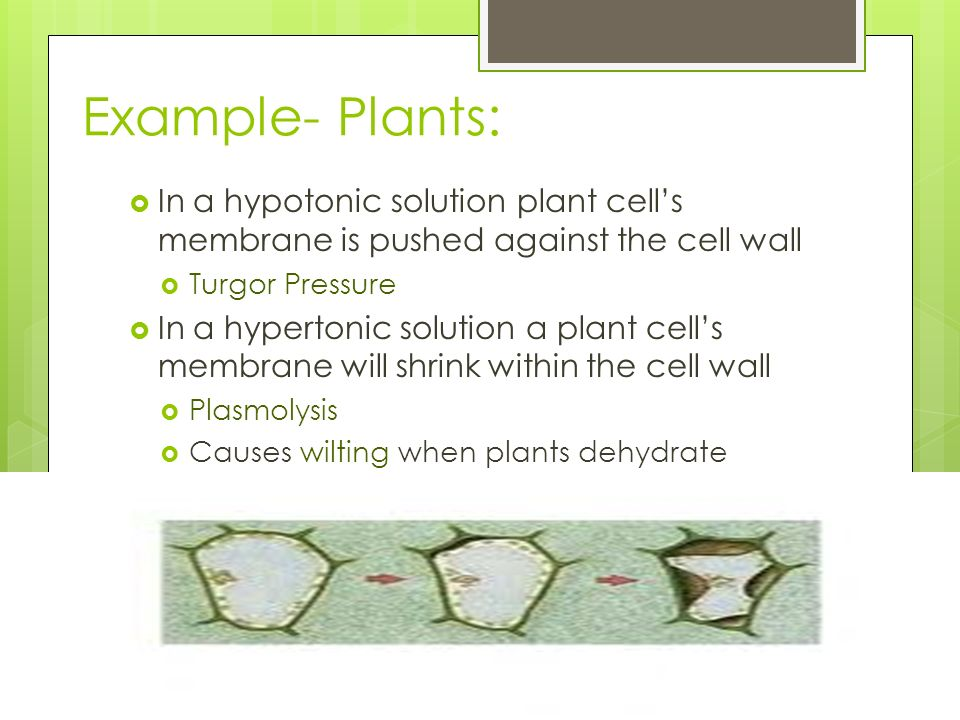 Example- Plants: In a hypotonic solution plant cell's membrane is pushed against the cell wall. Turgor Pressure.