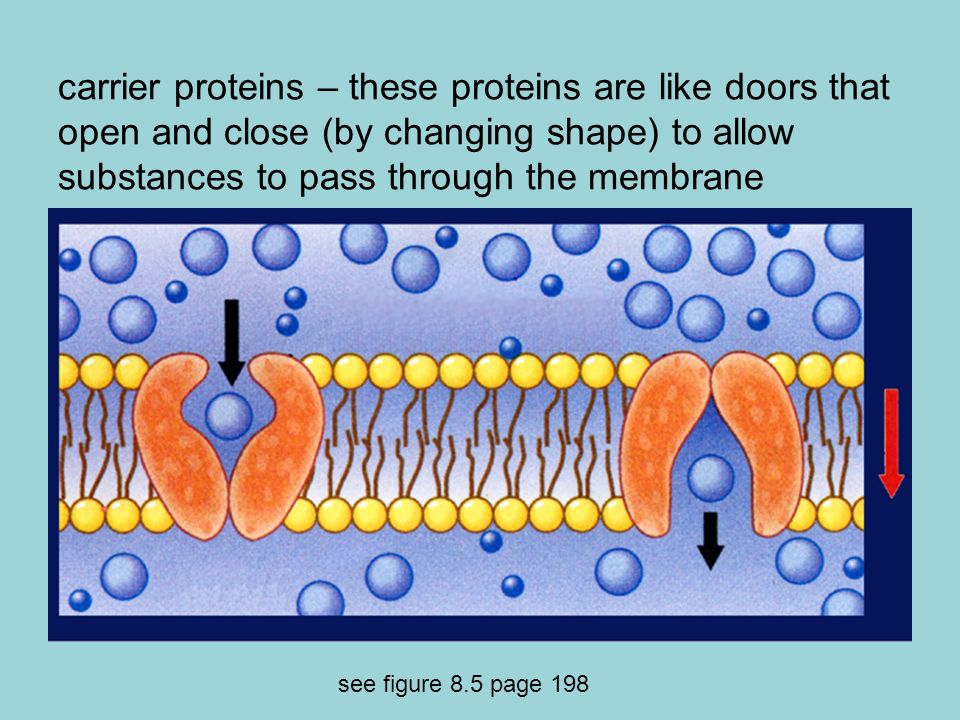 carrier proteins – these proteins are like doors that open and close (by changing shape) to allow substances to pass through the membrane