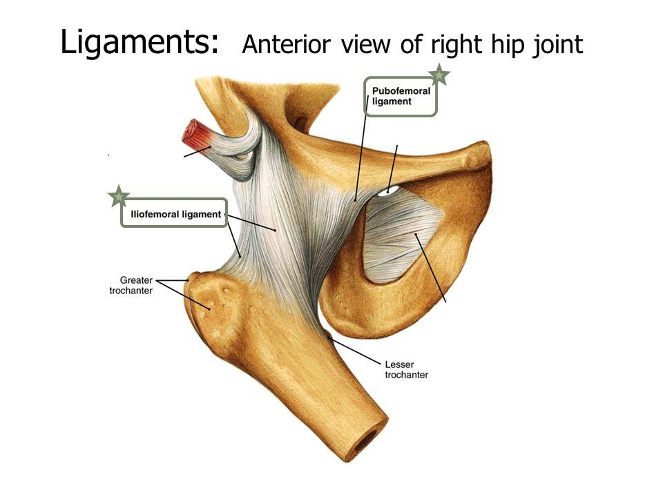 Presentation Hip Joint By: Aaron White, Ashley Garbarino, Anna ...